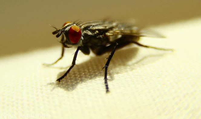 se d barrasser des mouches dans la maison se d barrasser des petits moucherons petites mouches. Black Bedroom Furniture Sets. Home Design Ideas
